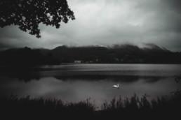 Swan on a lake (B/W)