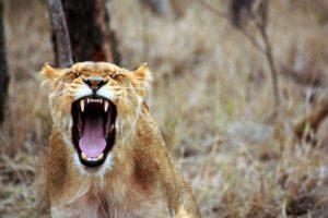 Lionne rugissant dans la savane